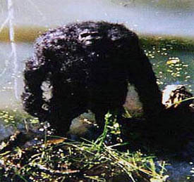 Scary Bigfoot Pictures