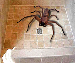 Giant African Spider Giant Spider of the Congo